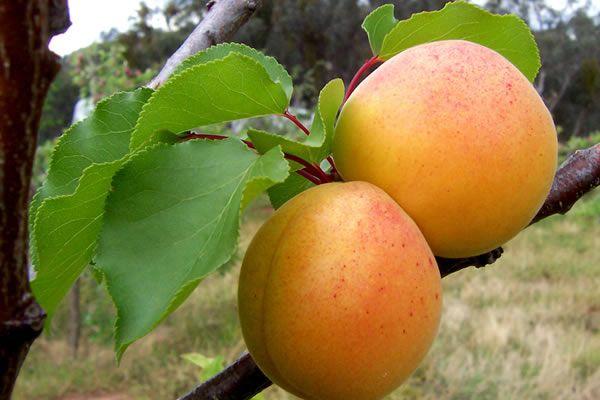 Вес одного абрикоса составляет 20 г