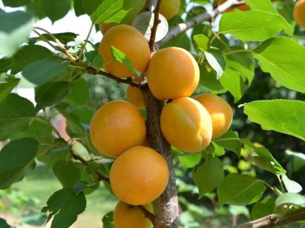 Первые плоды созревают уже в середине июля