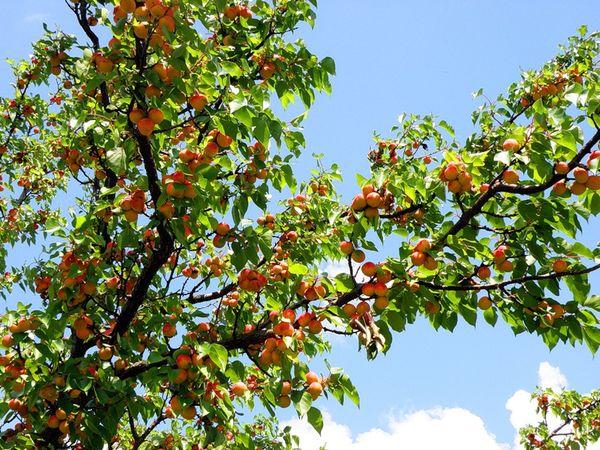 Абрикосовые деревья – неприхотливые растения