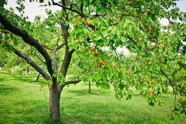 Абрикосовые деревья крайне не любят перепадов температур