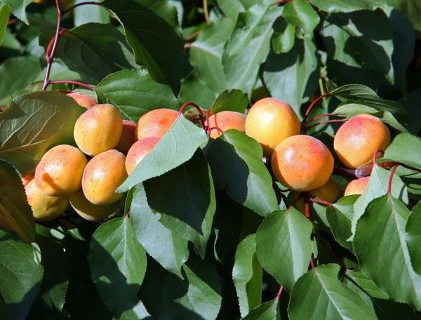 Чтобы дерево плодоносило, не забывайте обрезать и поливать его