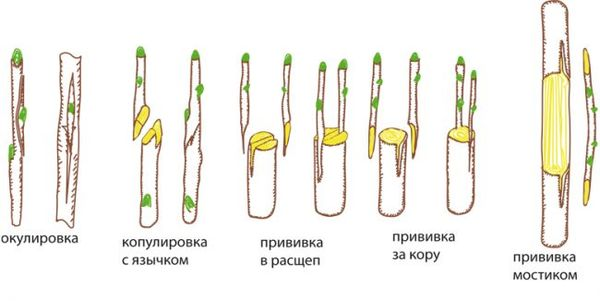 Способы прививки плодового дерева