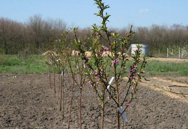 На первом году абрикосы требуется тщательный уход
