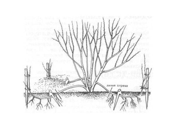 Размножение айвы японской с помощью отводок