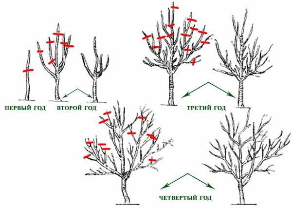 Обрезка растения проводится ежегодно