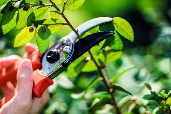 Растение нуждается в регулярной обрезке