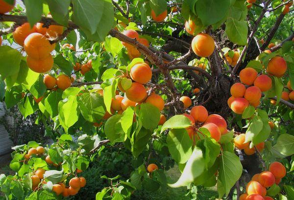 Выращивание абрикоса в Подмосковье требует особых знаний
