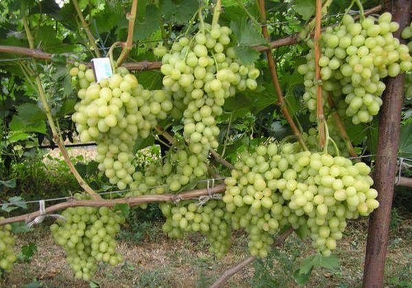 Виноград Аркадия неприхотлив к качеству почвы
