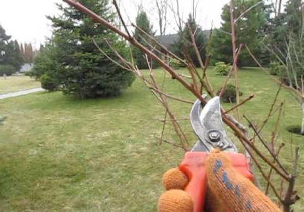 Формирование кроны – ответственный этап в выращивании персика