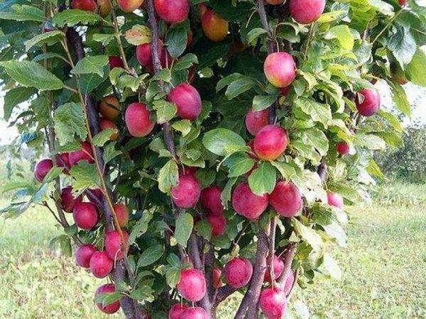 Колоновидные сливы выдают до 15 кг фруктов
