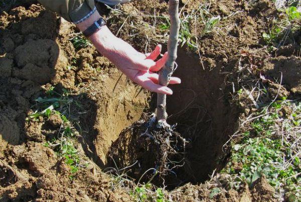 Посадка в подготовленную яму