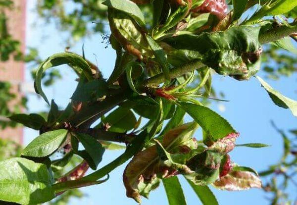 Бордоской жидкостью можно опрыскивать пораженный персик