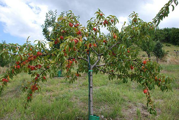 Важно правильно выбрать время для обрезки персика