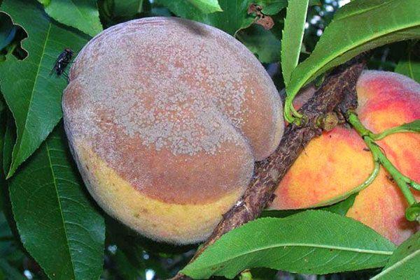 Почему гниет айва на дереве: вредители, борьба, болезни