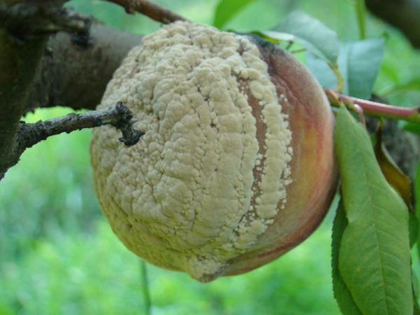 Плодовая гниль поражает в первую очередь плоды
