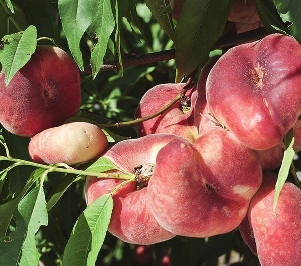 Персик никитский плоский
