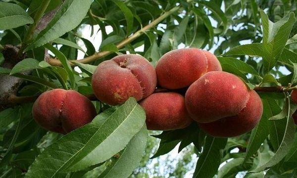 У сорта Владимир крупные плоды до 180 г