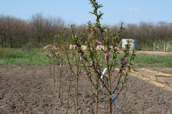 Цветение инжирного персика начинается в середине апреля