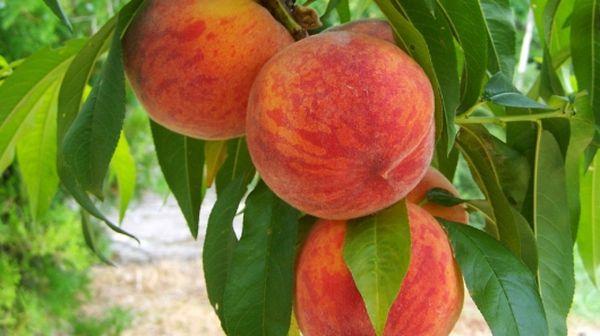 Плоды Инка округлой формы, вес одного достигает 150–180 г