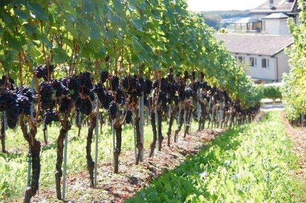 При выращивании винограда важна опора или шпалера