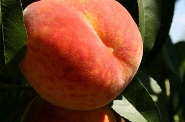 В средней полосе можно попробовать вырастить персик «Медовый»