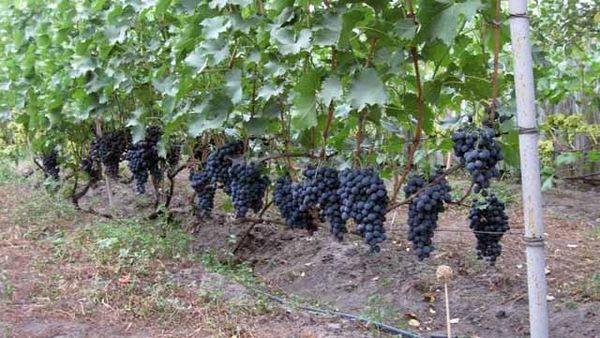 Одноплоскостная шпалера дает возможность укрыть виноград зимой