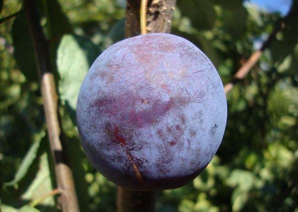 Плоды у сливы Этюд достигают 30 гр