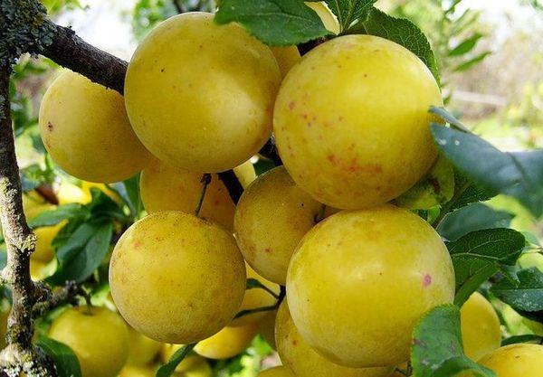 Плоды сорта Компотная имеют соломенный оттенок