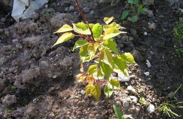 Пересаживать абрикос в открытый грунт рекомендуют весной