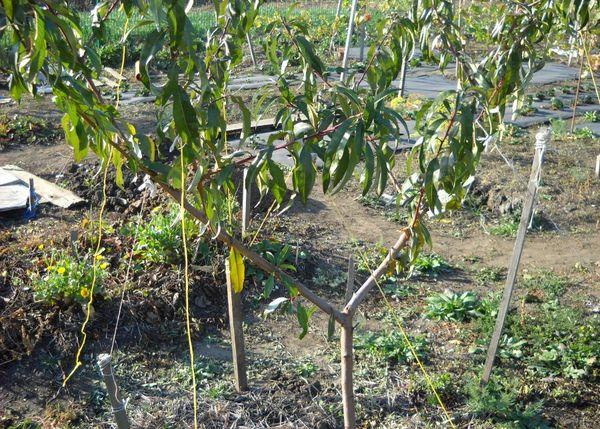 Персиковое дерево нуждается в регулярном поливе