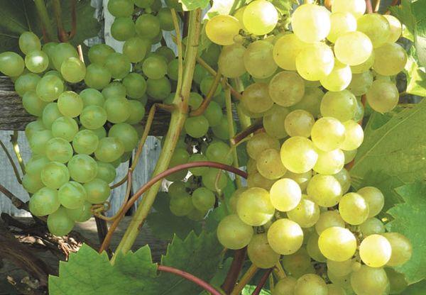 Виноград Лиепаяс Дзинтарс
