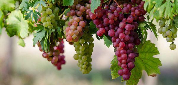 Виноград отлично растет в Беларуси