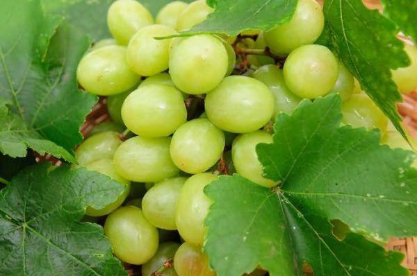 Белый виноград относится к столовым разновидностям