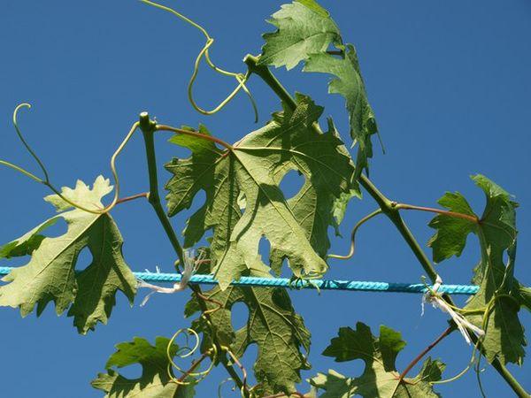 Виноград выращивается практически в каждом саду