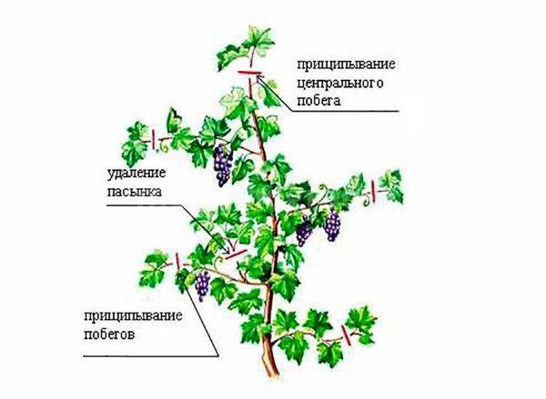 Правила прищипывания и удаления пасынка винограда
