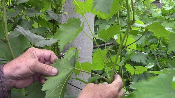 После прищипки ягод становится на 25% больше