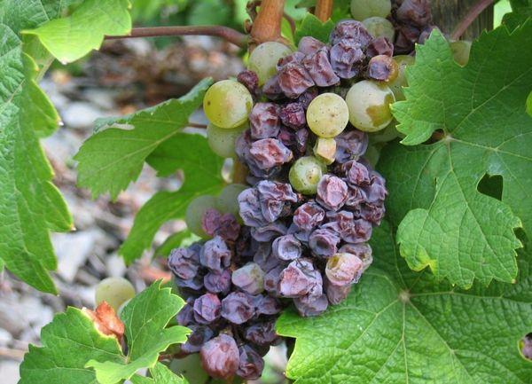 Почему сохнут ягоды винограда - фото болезни гроздей видео