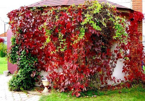 Не забывайте проводить обрезку винограда