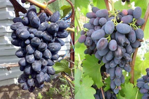 Популярный сорт винограда Кодрянка