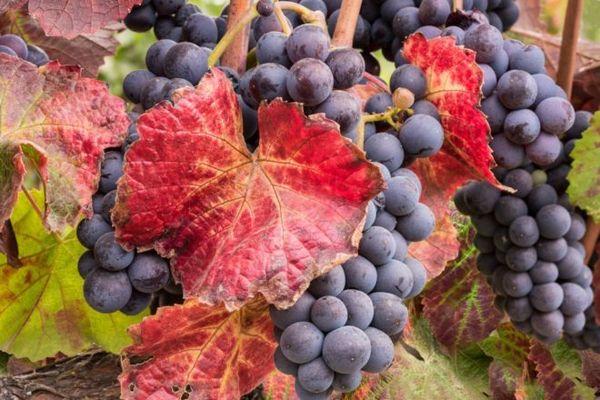 Краснеют листья винограда по разным причинам