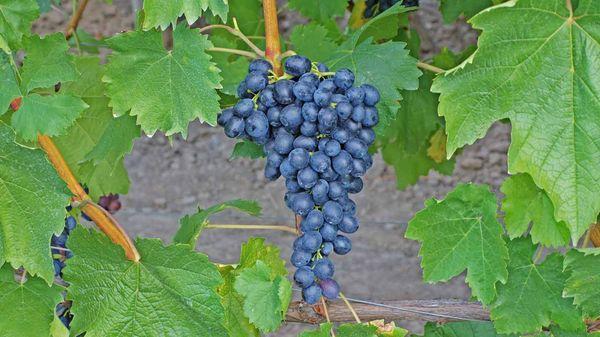 Недавно выведенный виноград Презент
