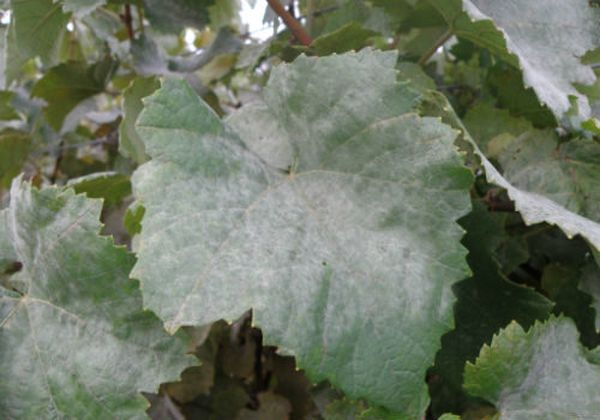 Мучнистая роса на листьях винограда