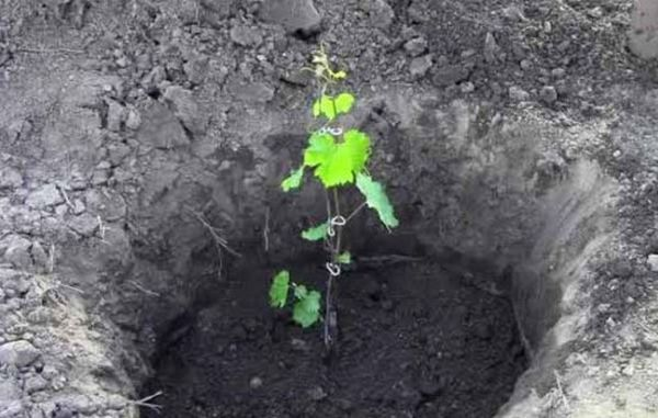 Каждому виду винограда присущи свои особенности по выращиванию