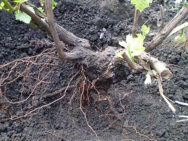Лучше пересаживать растение с большим комом земли