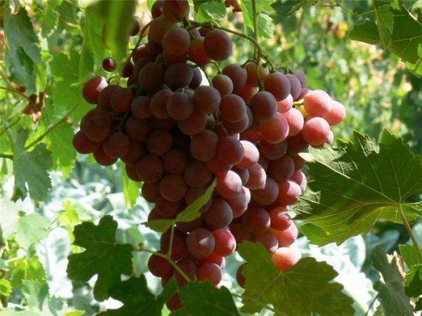 Виноград начинает плодоносить на 4-й год