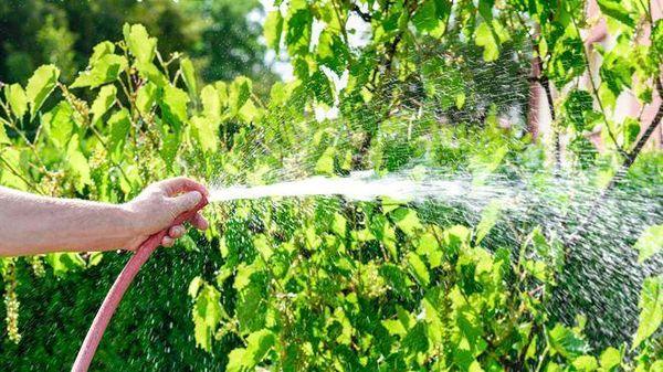 Для винограда очень важен полив