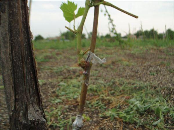 Виноградарю следует регулярно осматривать куст