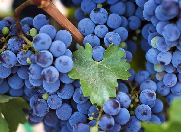 Факторы созревания и качество винограда - Исследование созревания винограда