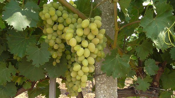 Сбор винограда – ответственный процесс