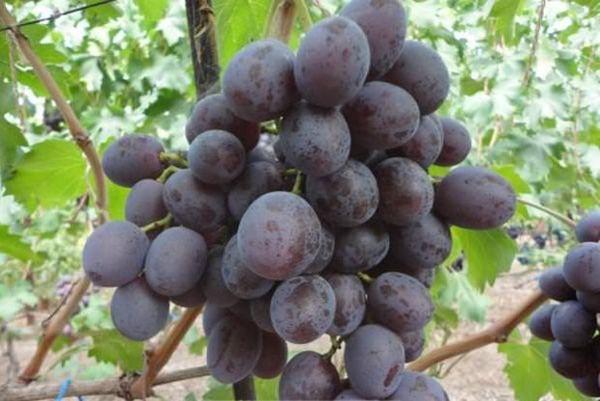 Выращивание винограда: советы начинающим виноградарям